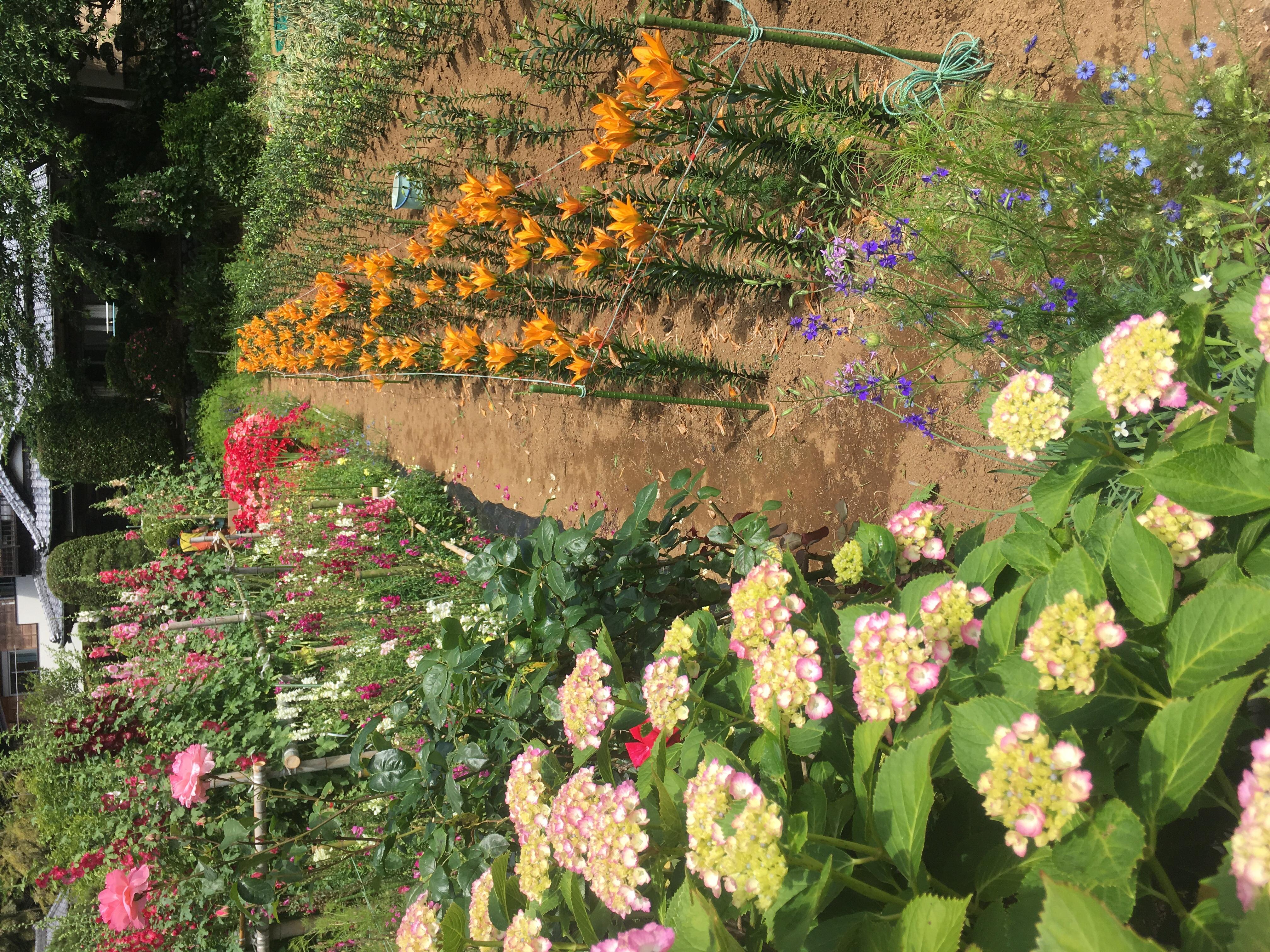 花菖蒲園の花見頃です。