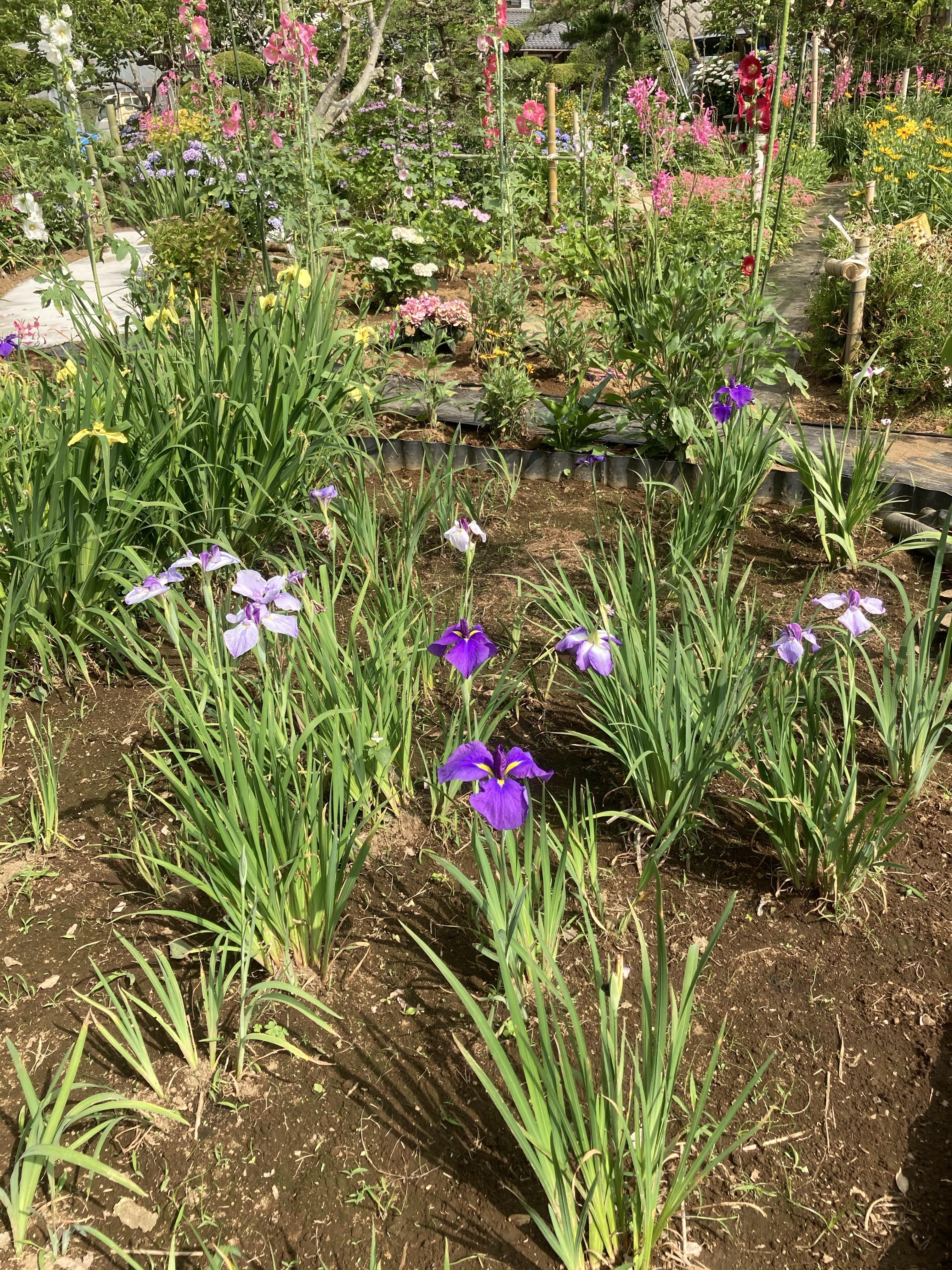 花菖蒲や紫陽花が見頃です。